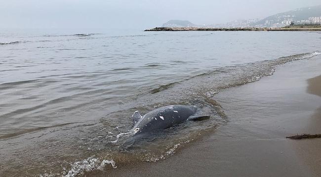 Karadeniz'de son 11 günde 37 yunus karaya vurdu