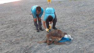 70 kilo ağırlığındaki caretta caretta Alanya sahiline vurdu