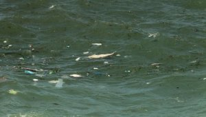 Kıyıköy'de iki ölü yunus bulundu