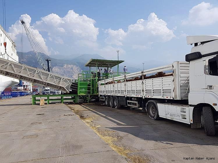 2018/09/21-bin-angus-iskenderun-limanina-geldi-20180920AW49-2.jpg