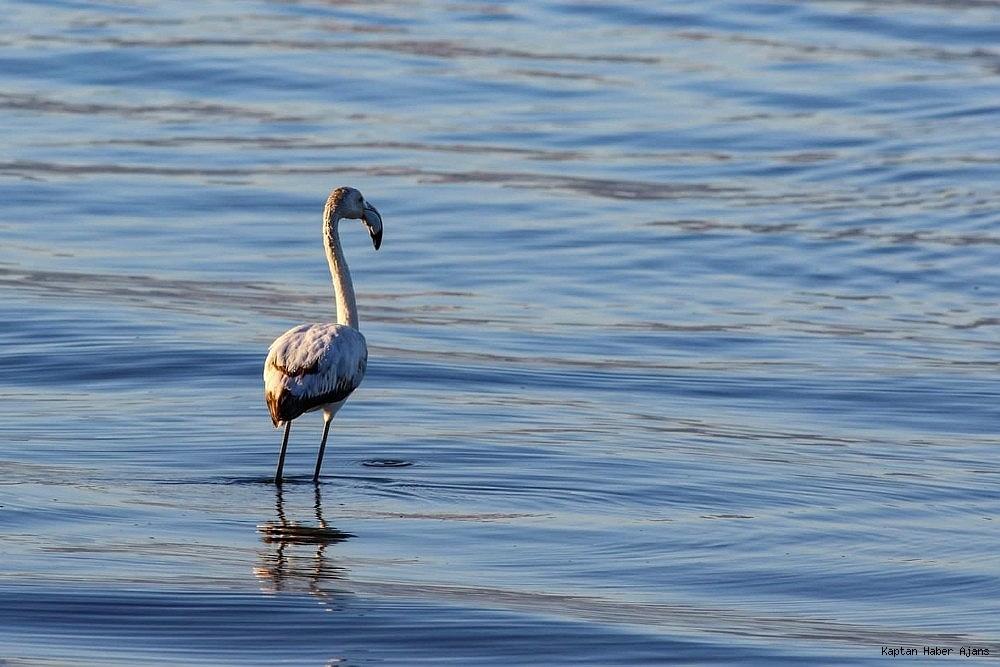 2019/02/iznik-golunde-ilk-kez-gorulen-flamingo-kayit-altina-alindi-20190213AW62-2.jpg