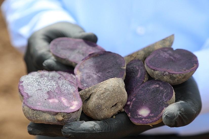 2020/05/sivasta-mor-patatesin-ekimi-yapildi-20200521AW02-5.jpg