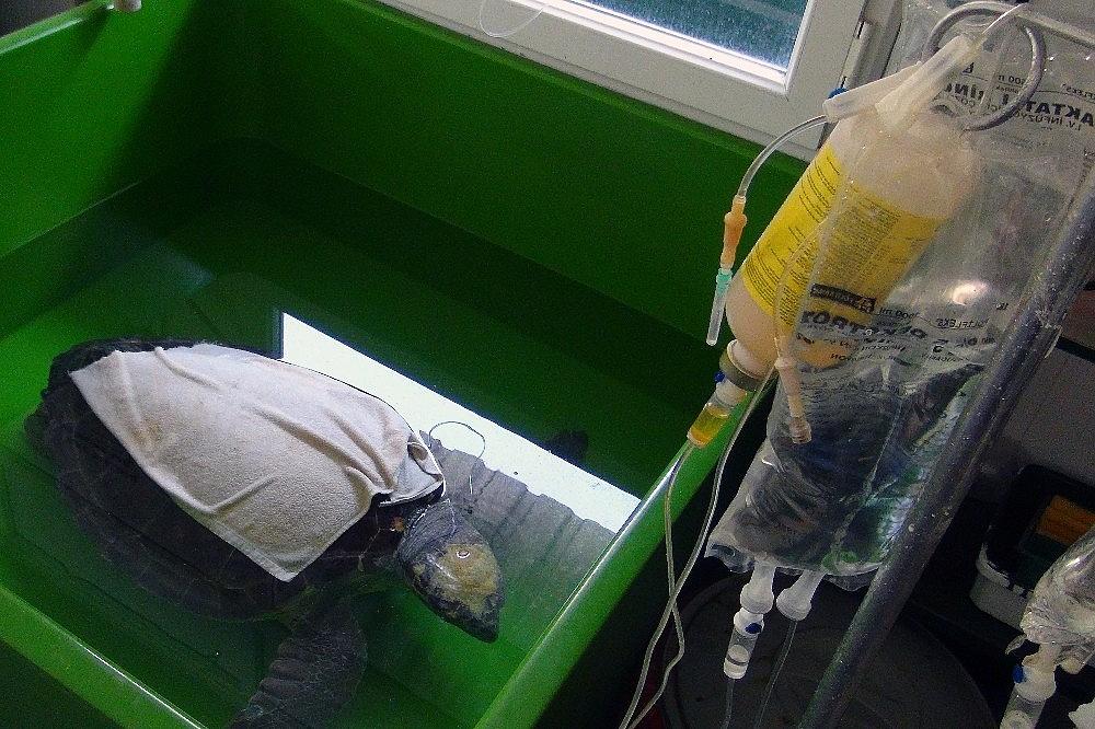 2020/06/korona-virus-deniz-kaplumbagalarina-yaradi-20200623AW04-9.jpg