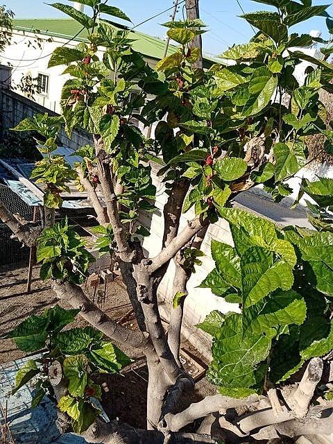 2020/12/mevsimi-sasiran-dut-agaci-kis-ayinda-meyve-verdi-20201225AW19-2.jpg