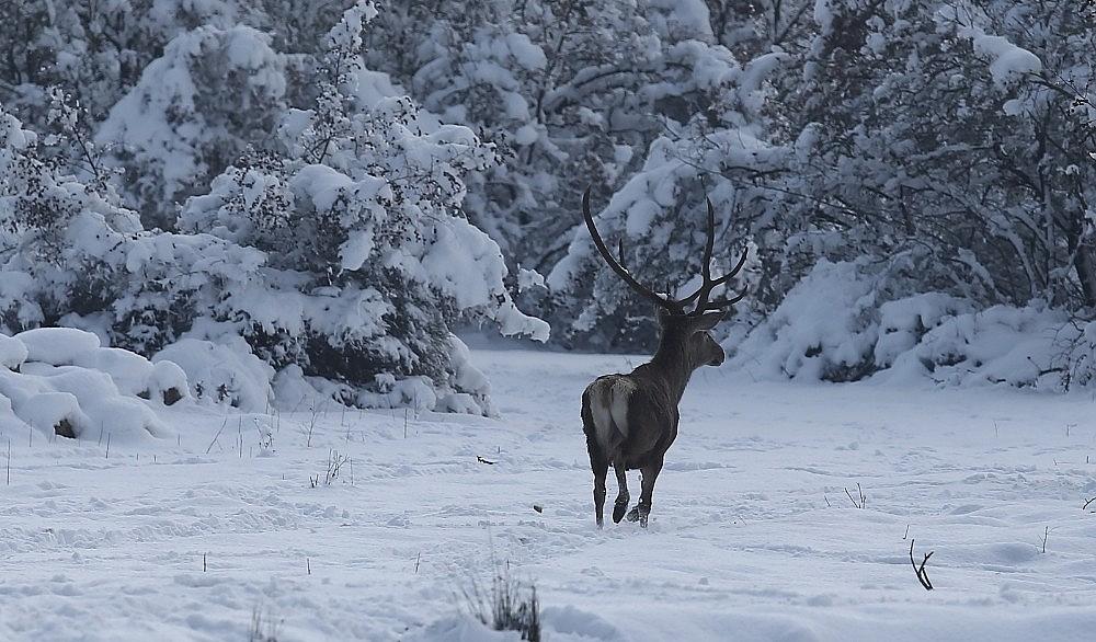 2021/01/bursadaki-kizil-geyiklere-ozel-yem-takviyesi-20210118AW21-2.jpg