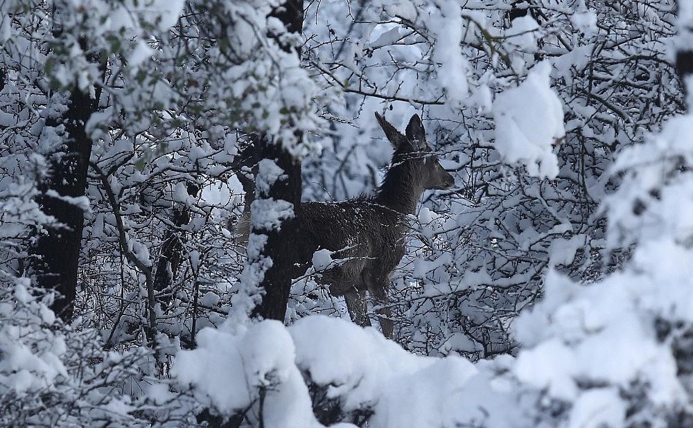 2021/01/bursadaki-kizil-geyiklere-ozel-yem-takviyesi-20210118AW21-3.jpg