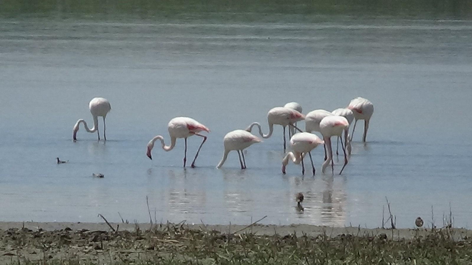 2021/05/van-golu-havzasinin-narin-kuslari-flamingolar-20210510AW31-5.jpg