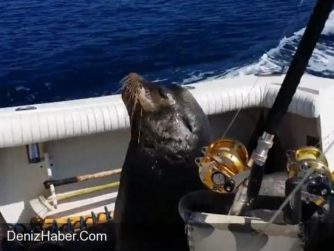 Deniz Aslanı Hız Teknesini Kovaladı