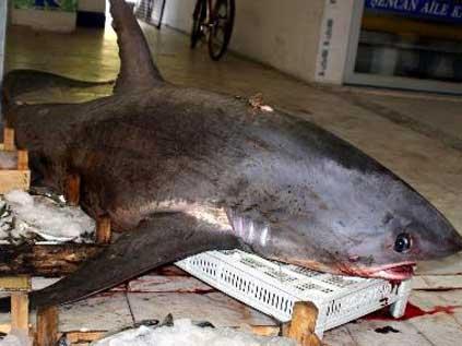 Marmaris'de 4 Metrelik Köpekbalığı