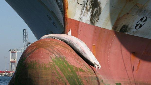 Balinalar için gemilerin rotası değişti