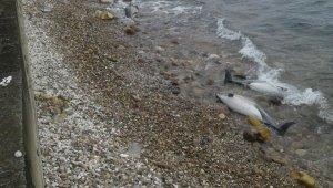 Karadeniz'de yunus ölümleri arttı