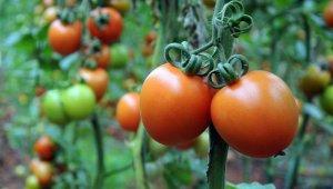 Rusya'nın domates ithalatındaki kısıtlaması Türk ihracatçısını mağdur ediyor