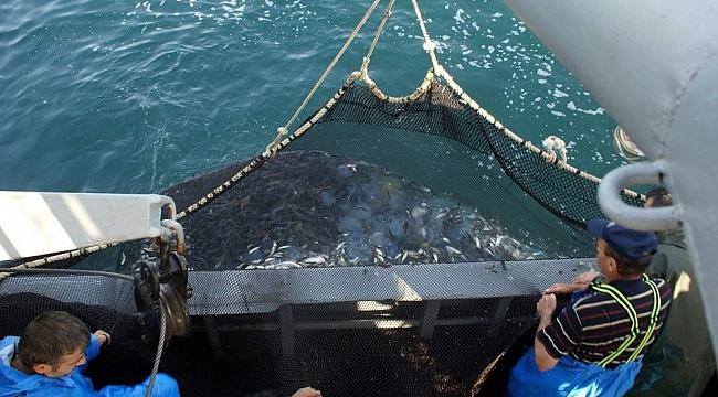 Karadeniz'de hamsi ve mezgit tehlikede