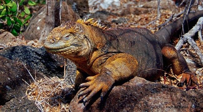 İguanalar 184 yıl sonra tekrar Santiago Adası'nda