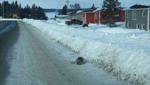 Kanada'da körfeze giden sular dondu, foklar mahsur kaldı