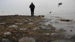 İzmit Körfezinde sahili kaplayan yüzlerce denizanası görenleri şaşırttı