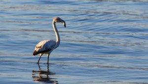 İznik gölünde ilk kez görülen flamingo kayıt altına alındı