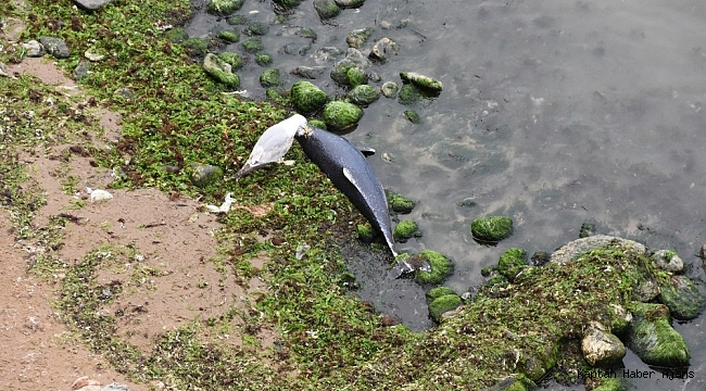 Sinop'ta yunus ölümleri artıyor