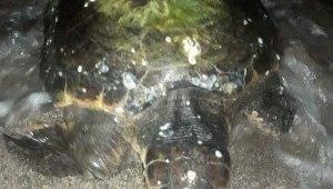 Deniz üstünde minder sandığı cisim 45 kiloluk dev deniz kaplumbağası çıktı
