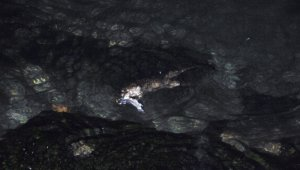 Tekirdağ'da Su Samuru bulundu
