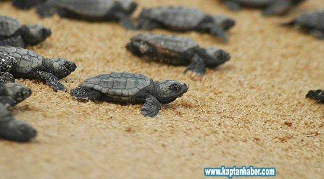 40 bin caretta yavrusu denize ulaşacak