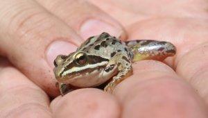 Rana Tavansensis kurbağası için Denizli'de seferberlik ilan edildi