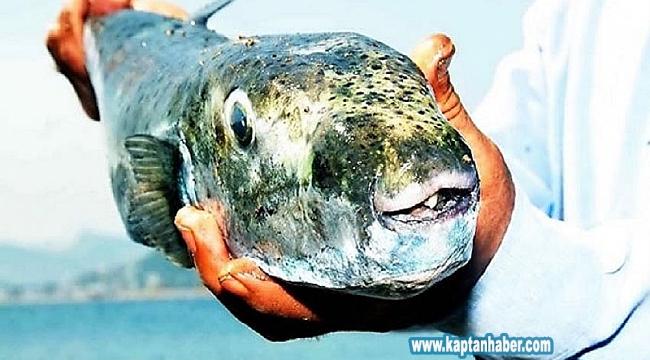 Balıkçılarda balon balığı endişesi