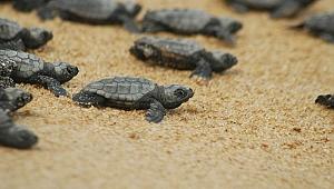 Hatay'da yeşil kaplumbağalar denizle buluştu