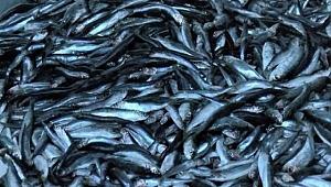 Hamsi, Karadeniz'li balıkçıların yüzünü güldürüyor