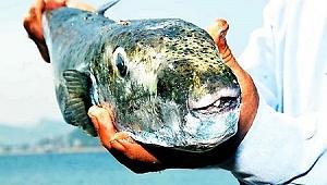 Körfez'de 'balon balığı' yakalandı