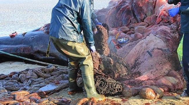 Balinanın midesinden 100 kilogram çöp çıktı
