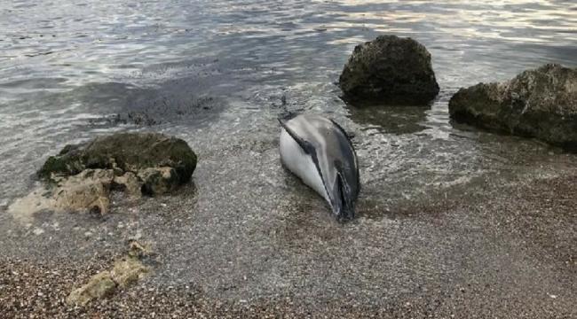 Karaya ölü yunus vurunca ekipler bulaşıcı hastalık alarmı verdi
