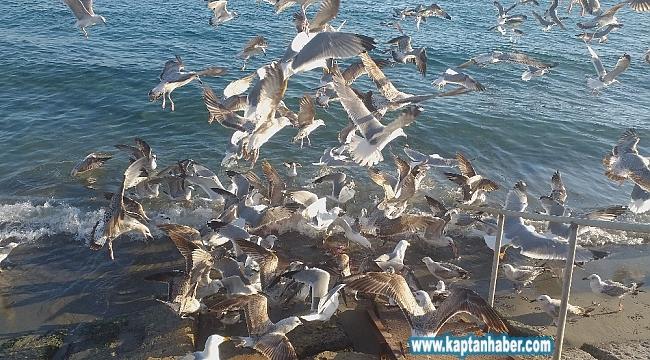 Martılar 50 kilo balık artığını 2 dakikada bitirdi