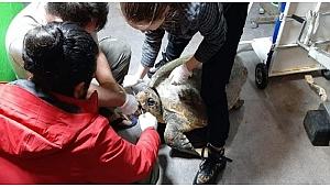 Deniz kaplumbağası hayata döndürüldü