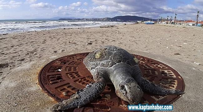 Kıyıya vuran deniz kaplumbağaları endişelendirdi