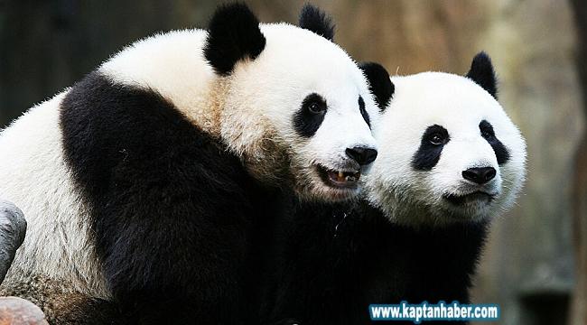 Yetkililerin 10 yılda yapamadığını karantina yaptı: Kapatılan hayvanat bahçesindeki pandalar ilk kez çiftleşti