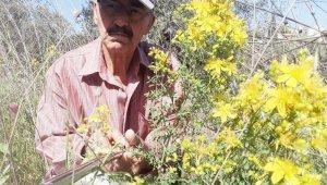 Burhaniye'de kantaron çiçeği hasadına başlandı