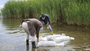 Göle 70 bin yavru sazan bırakıldı