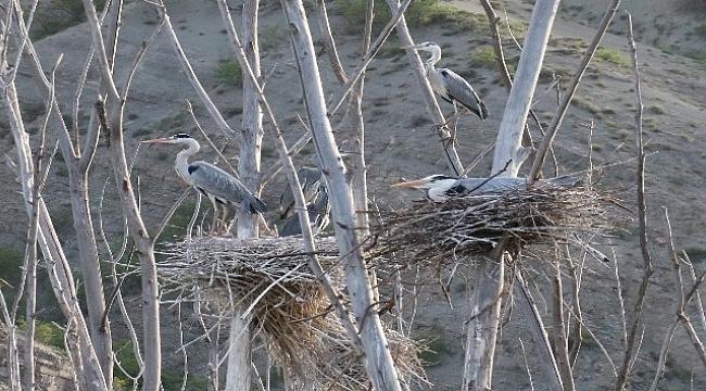 Gri Balıkçıl kuşları yaşam alanları ile dikkat çekiyor