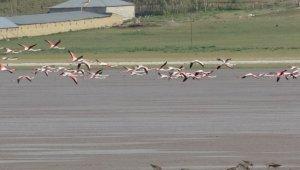 Akgöl'ün beklenen konukları 'flamingolar' geldi