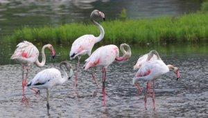 Flamingolar, Hersek Lagününden vazgeçmiyor