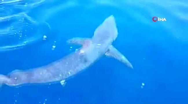 GKRY'de tehlikeli köpek balığı kıyıda görüntülendi