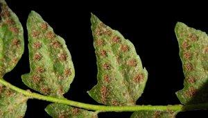 Küre Dağları'nda yeni bir endemik bitki türü keşfedildi