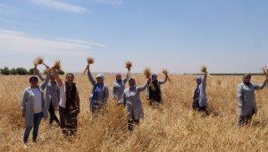 Mezopotamya'nın en eski buğdayı olan 'Sorgül' hasadı gerçekleşti
