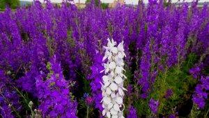Mor çiçek tarlası ilgi odağı