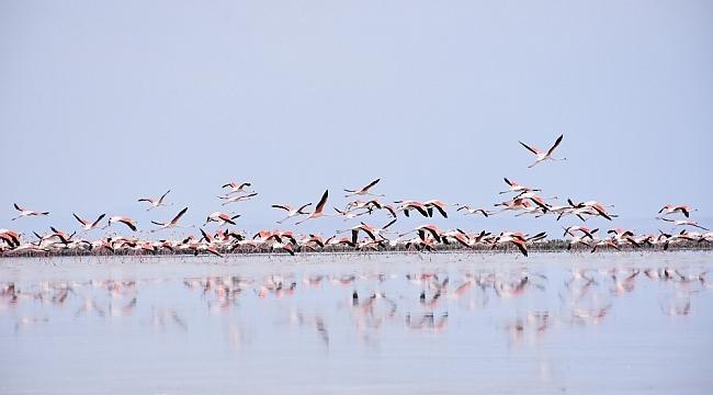 Sular çekiliyor, besin azalıyor, flamingolar ölüyor
