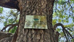 Tarihe tanıklık eden menengiçlere 'anıt ağaç' levhaları asıldı