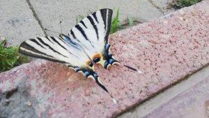 Çelikhan'da zebra çatal kuyruklu kelebek görüldü