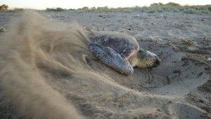 Antalya'da deniz kaplumbağası yuvaları rekor sayıya ulaştı