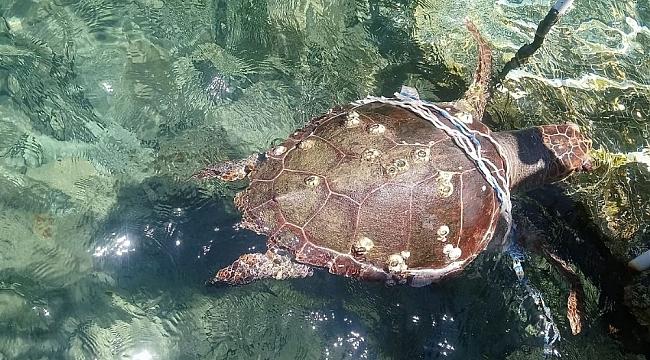 Kuşadası Körfezi'nde 2 caretta caretta ve 1 yeşil deniz kaplumbağası ölü bulundu